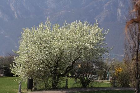 März 2016: Schon Blütezeit in Riva